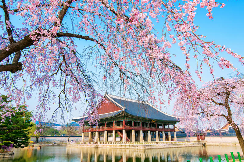 gyongbokgung-palace-cherry-blossom-spring-korea-seoul-64600001